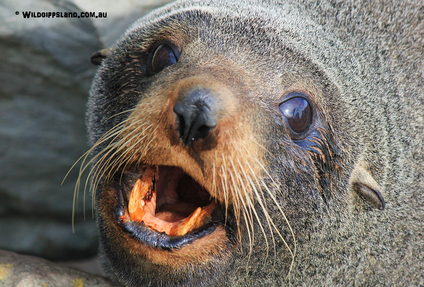 fur-seal-for-banner