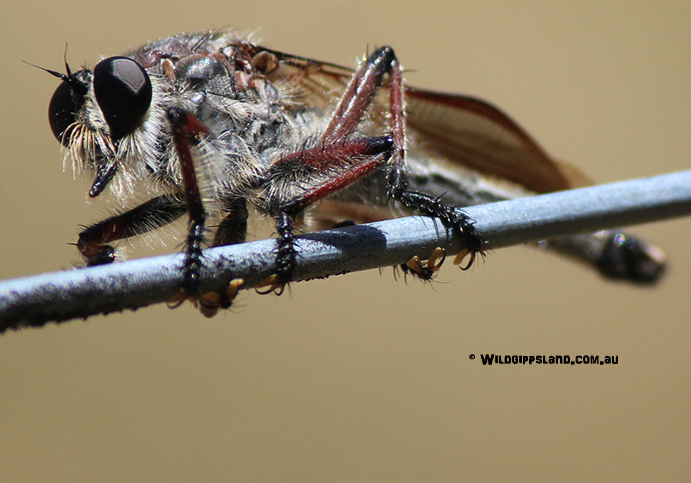 robber-fly-for-banner