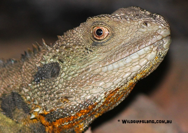 Gippsland Water Dragon Up Close