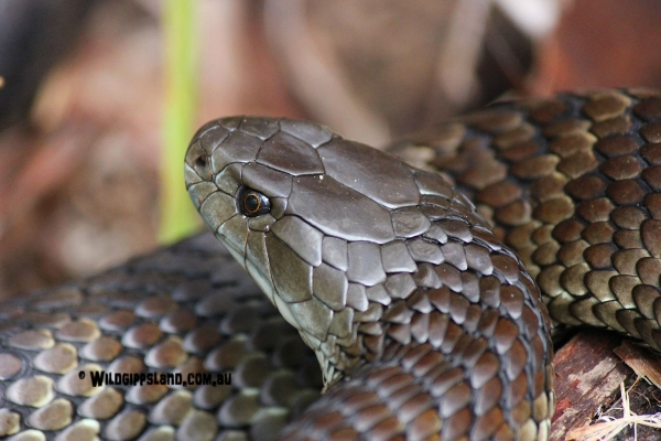 Tiger Snake Up Close